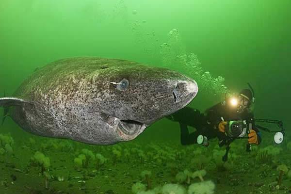 Tiburón Groenlandia puede vivir durante 400 años