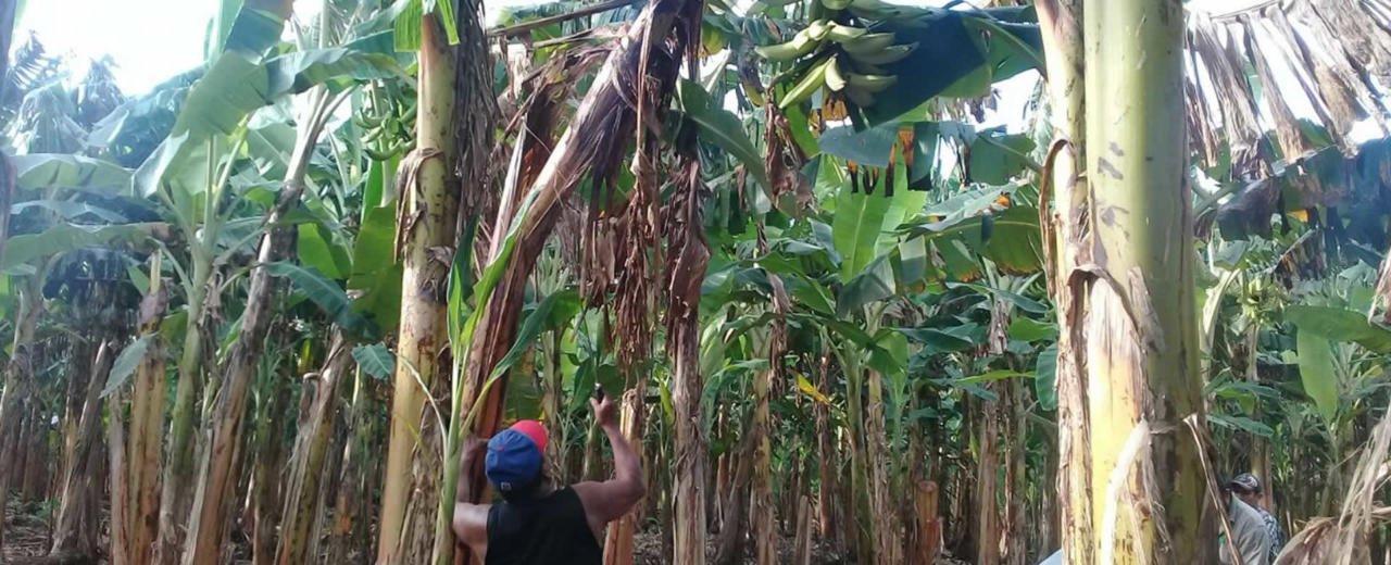 Producción de plátano dispondrá 1.6 millones de plantas in vitro