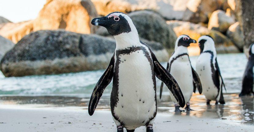 Los Pingüinos machos gorditos son los más atractivos para las hembras
