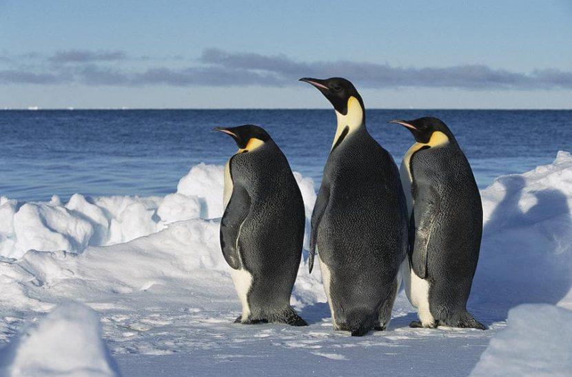 Los Pinguinos machos gorditos son los más atractivos para las hembras