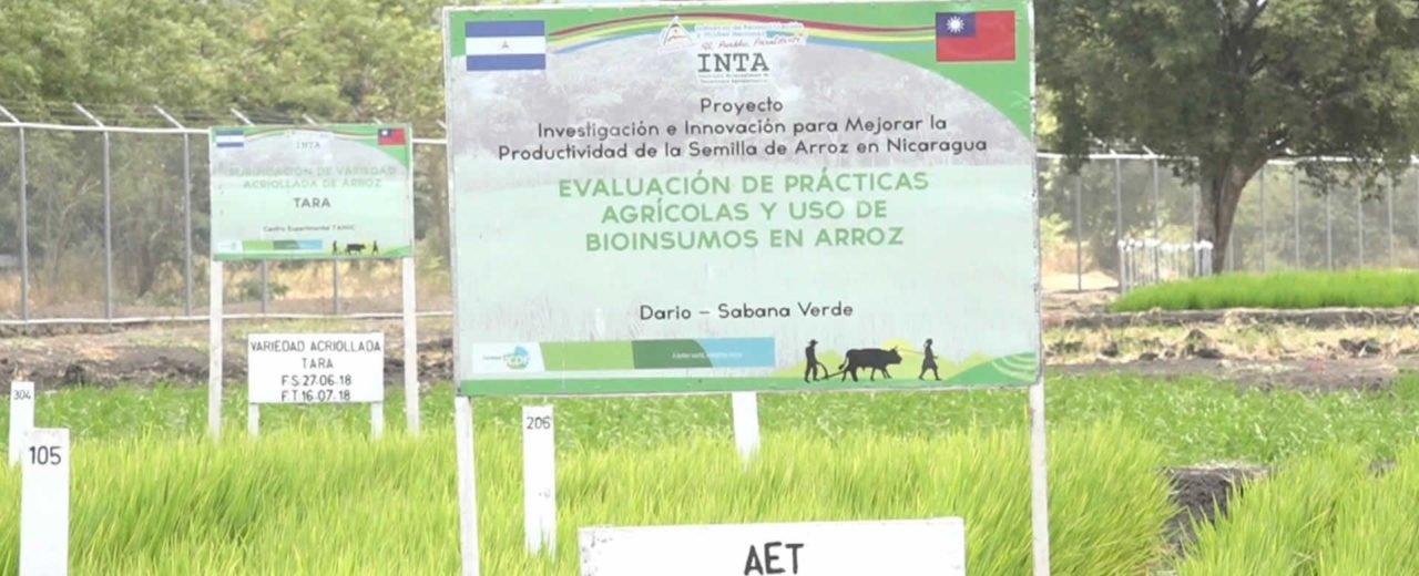 INTA con apoyo de Misión Técnica de Taiwán lanza semilla de arroz IR5M