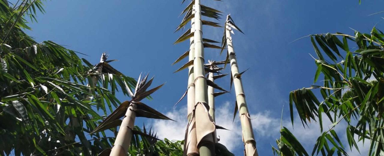 Avanza proyecto bambú en el municipio de Diriomo