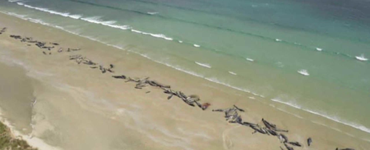 Varamiento masivo de ballenas en las costas de Nueva Zelanda