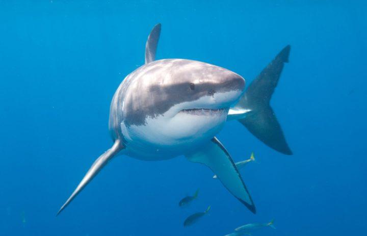 Embarcación es arrastrada por casi tres kilómetros por un tiburón blanco