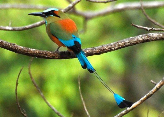 Guardabarranco es una bella ave colorida